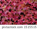 ivy, red, leafe 1515515