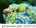 수국과 달팽이 1525725