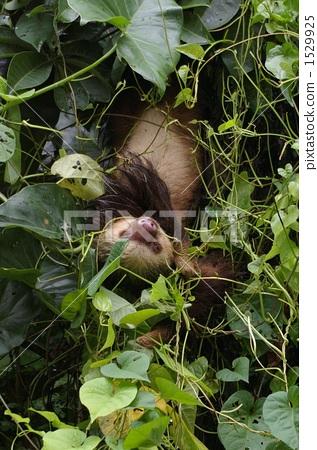 Sloth 1529925