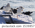 slaty-backed, gull, bird 1539857