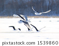 herring, gull, slaty-backed 1539860