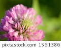 Red Clover, flower upload, lifting 1561386