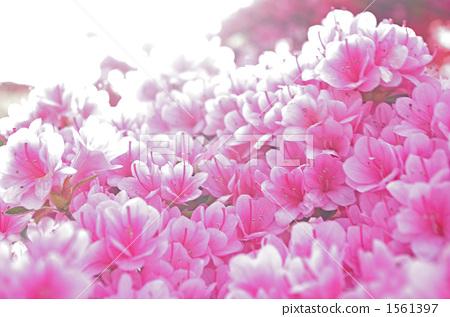 azalea, azaleas, full bloom 1561397