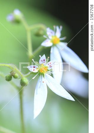 野草 虎耳草 草莓天竺葵 1567708