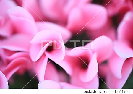 cyclamen, bloom, blossom 1573510