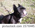french bulldog, pet, pets 1576445
