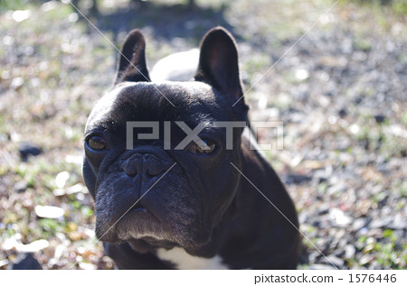 french bulldog, dog, dogs 1576446