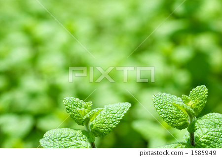 ใบพืชชนิดหนึ่ง 1585949