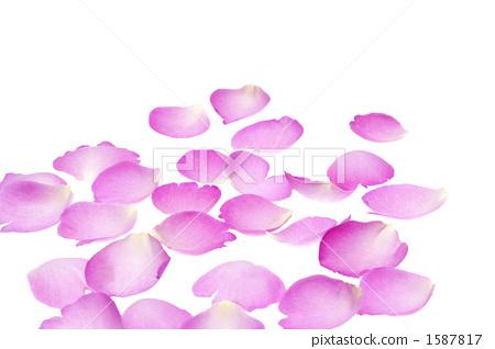장미 꽃잎 1587817
