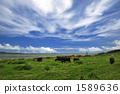 Iriomote Island / grazing 1589636