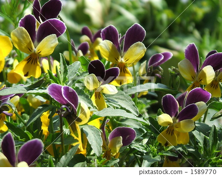 Purple and yellow flowers blooming in the spring of March and April · viola (Sansikisumire) 1589770