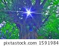 ginkgo, ginko tree, ambient 1591984