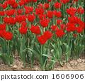 튤립, 밭, 꽃밭 1606906