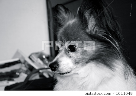 빠삐용 강아지 1611049