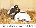 holstein, milk, cow 1643796