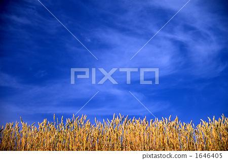 麥子和藍天 1646405