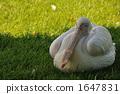 鹈鹕 伊豆仙人掌公园 树荫 1647831