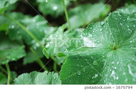 雨的叶子 1670794