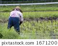 여성, 벼농사, 농사 1671200