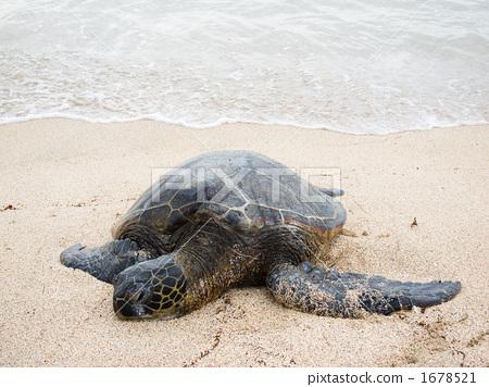 바다거북, 푸른바다거북, 동물 1678521