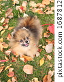pomeranian, dog, dogs 1687812