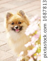 pomeranian, dog, dogs 1687813