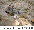 หมาป่า 1701188