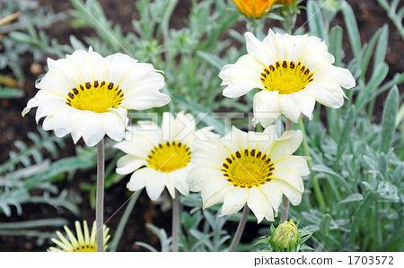 ดอกไม้สี่ล้อ 1703572