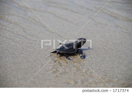 바다 거북의 아기 1717374