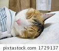 to, sleep, calico 1729137