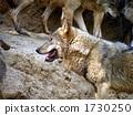 หมาป่า 1730250