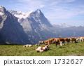 牲畜 家畜 奶牛 1732627
