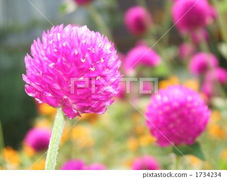 7 · 8 월의 여름에 피는 보라색 꽃 비름과의 천일 향 1734234