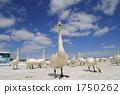 avian, swan, swans 1750262