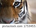 老虎 虎 舉起 1759455