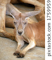 Kangaroo to fall asleep 1759959
