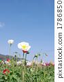 개양귀비, 꽃, 플라워 1786850