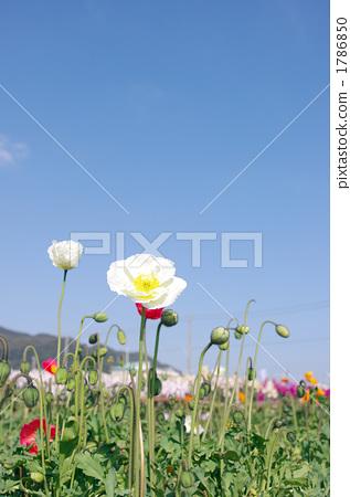 虞美人 花朵 花 1786850