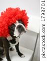 boston, terrier, headdress 1793701