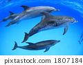 泰国马鲭鱼海豚 1807184