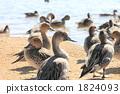 针尾鸭 尖尾鸭 候鸟 1824093