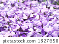 紫色美麗的青苔草在綻放開了花 1827658
