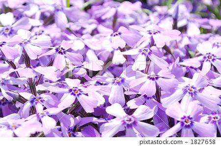 A purple beautiful moss grass bloomed in bloom 1827658