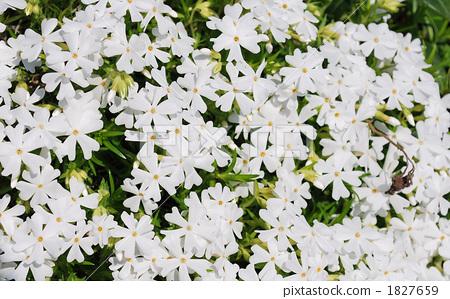 흰 다년초 1827659