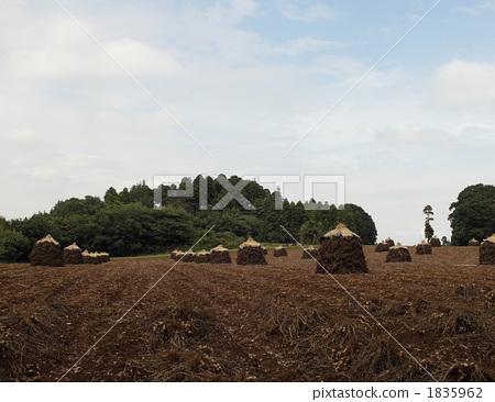 논밭, 밭, 땅콩 1835962