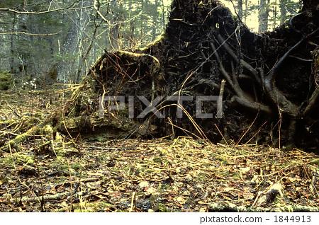 tree root, kinone, yamanaka 1844913