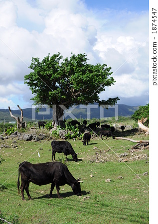 A group of grazed cattle 1874547