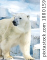 Polar bears 1880159