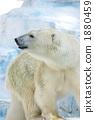 Polar bears 1880459