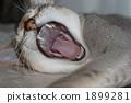 하품, 고양이, 동물 1899281